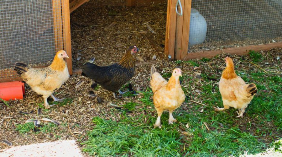 Chickens at explorers academy