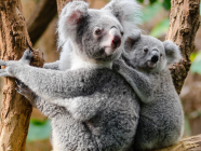 WILD AT HEART // The Southern Highlands Koala Conservation Project