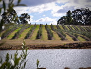 The Story Behind PepperGreen Estate's 100-Acre Olive Grove